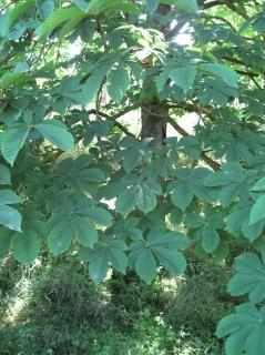 Aesculus hippocastanum 05 jordi puyuelo