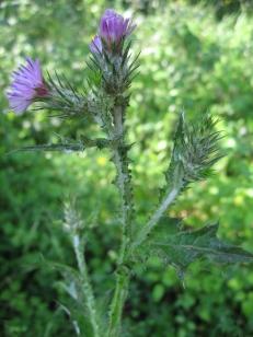 Carduus tenuifolius 04 jordi puyuelo