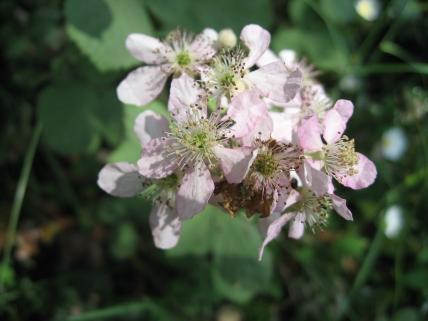 Rubus canescens 08 jordi puyuelo