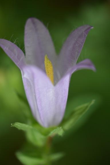 campanula trachelium gabriel huguet