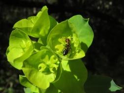 Euphorbia amygdaloides 02 margarida vila