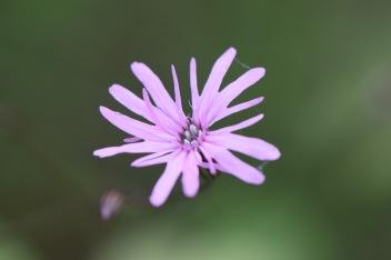 lychnis flors-cuculi gabriel huguet