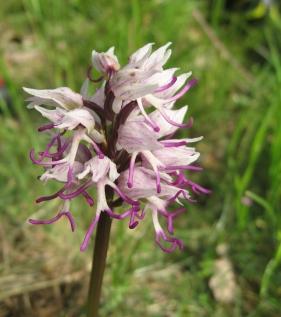 Orchis simia 05 jordi puyuelo