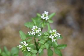 roroppa nasturtium-aquaticum gabriel huguet