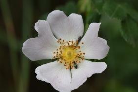 rosa canina gabriel huguet
