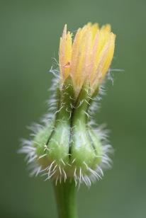 urospermum picroides gabriel huguet