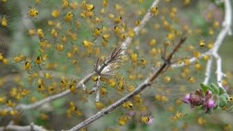 araneus diadematus montse felipe