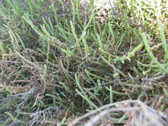 Arthrocnemum fruticosum 19 jordi p