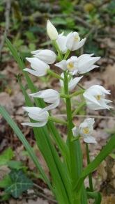 cephalanthera longifolia 2 montse felipe