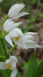 cephalanthera longifolia 3 montse felipe