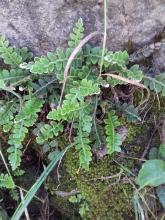 ceterach officinarum carlos contreras