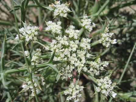 Echinophora spinosa 09 jordi p