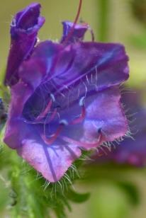 echium plantagineum 1 alexandra perandones