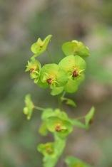 euphorbia amygdaloides gariel huguet
