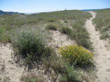 Flora de duna 07 jordi p