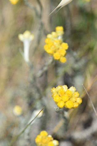 Helichrysum stoechas gabriel huguet