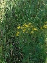 hypericum perforatum carlos contreras