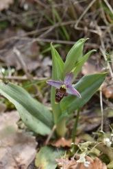 ophrys scolopax 1 gabriel huguet