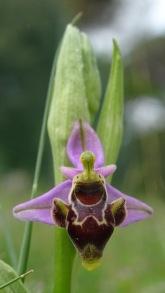 ophrys scolopax 2 montse felipe