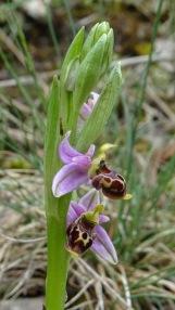 ophrys scolopax 4 montse felipe