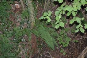 polystichum setiferum 1 alexandra perandones