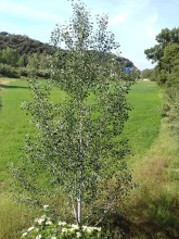 populus alba carlos contreras