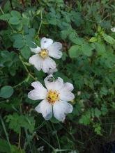 rosa canina carlos contreras (2)