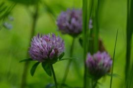 trifolium pratense 1 alexandra perandones