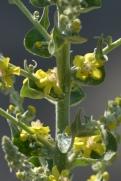 verbascum pulverulentum 1 alenxandra perandones