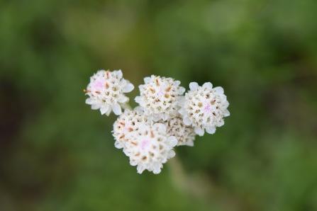antennaria dioica 1 Gabriel huguet