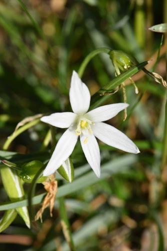 anterhicum liliago 2 Gabriel Huguet
