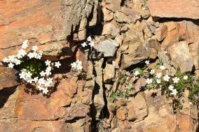 saxifraga vayredana + Minuartia laridifolia