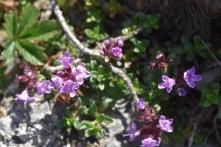 thymus serpyllum chamaedrys Gabriel Huguet