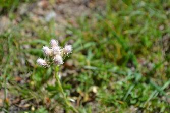antennaria dioica 3 alexandra perandones