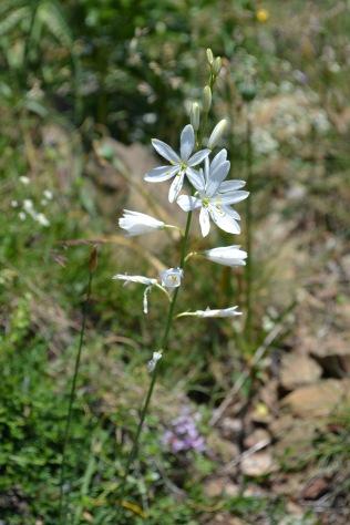 anthericum liliago 2 alexandra perandones