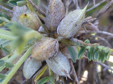 Astragalus tragacantha_fruits_2_anna lladrich