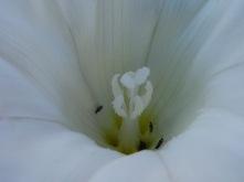 Calystegia sepium_5_anna lladrich