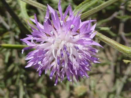 Centaurea aspera_2_anna lladrich
