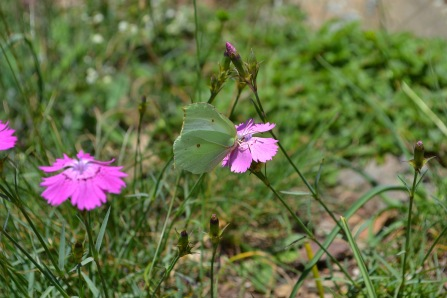 dianthus seguieri requienii+ gonepteryx rhamnialexandra perandones