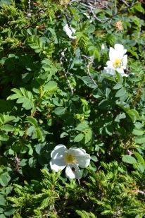 rosa pimpinellifolia 1 alexandra perandones