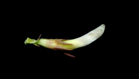 17 calze pubescent amb les dents subiguales, poc més curtes que el tub